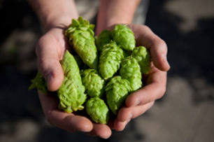 Fresh-Hops-Tryst-Brewery